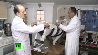 В Турции врач помогает животным-инвалидам вновь «встать на ноги»