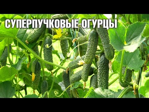 Суперпучковые гибридные огурцы ☆ Урожайные семена ☆уральский дачник