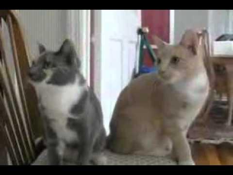 2 chú mèo có hành động giống nhau.flv