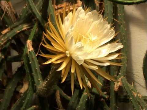Queen Of The Night Cactus Selenicereus Grandiflorus