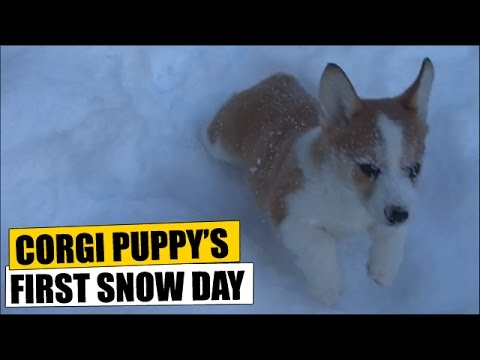 Corgi Puppy's First Snow Day