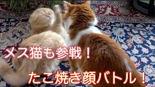 猫・3匹によるバトル!兄猫にビビってたこ焼き顔になる猫!