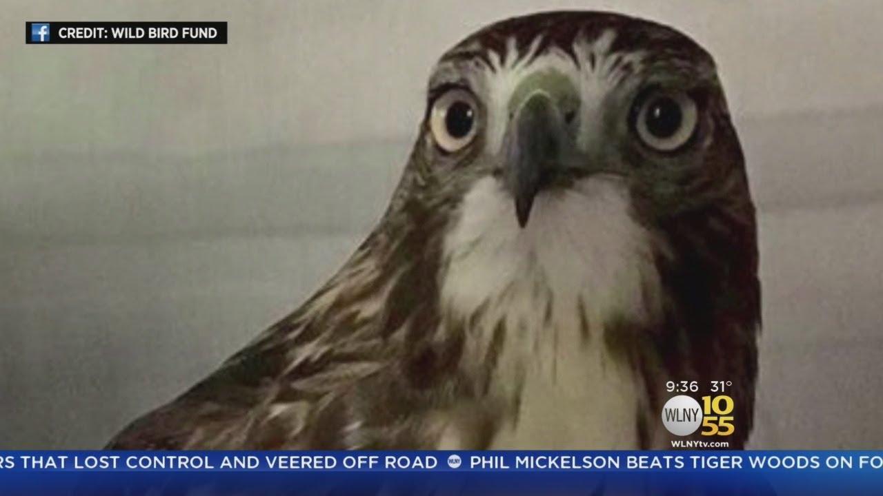 Hawks Hitting Trouble Migrating Through New York City Youtube