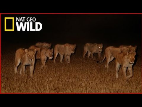 National Geographic Documentary Wild - The Power of Lionesses - BBC Documentary History  [HD 1080p]