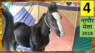 Indian Marwari Horse Baby Trading Market : Colt Sired By Kala Kanta -  Sell Horses Online