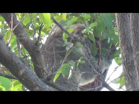 Adult male koala in bloodwood