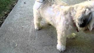 Shih Tzu Poodle Doing Tricks