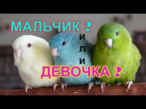 Как определить пол волнистого попугая? Отличия мальчика от девочки.
