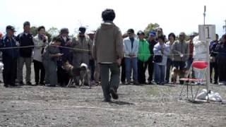 服従訓練された四国犬.