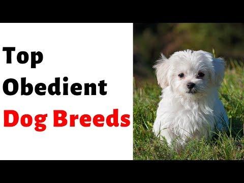top-obedient-dog-breeds