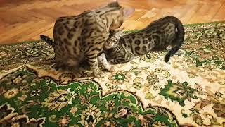 Бенгальская кошка хочет в 6 месяцев кота