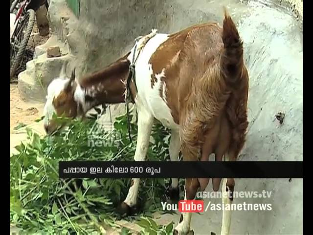Goat milk, papaya leaf price: Delhi dengue fever spreads