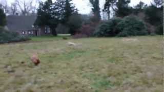Spanish Galgo Ruby And Standard Poodle Sienna Running Fast