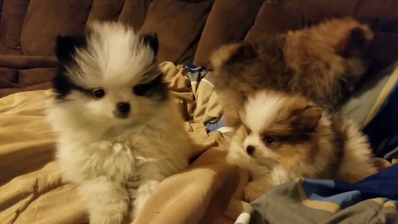 Parti Pomeranian Puppies Playing With