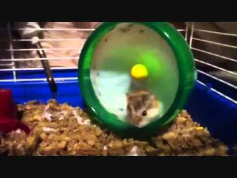 Hamster flips 15 times in his wheel!!!!