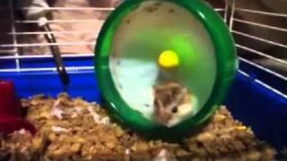 Hamster flips 15 times in his wheel!!!!
