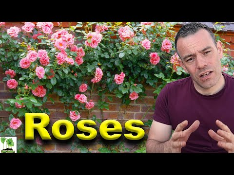 How To Grow Roses - This Is What Professionals Do!