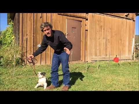 Puppy Training : Recall, Here Command with Australian Shepherd Puppy