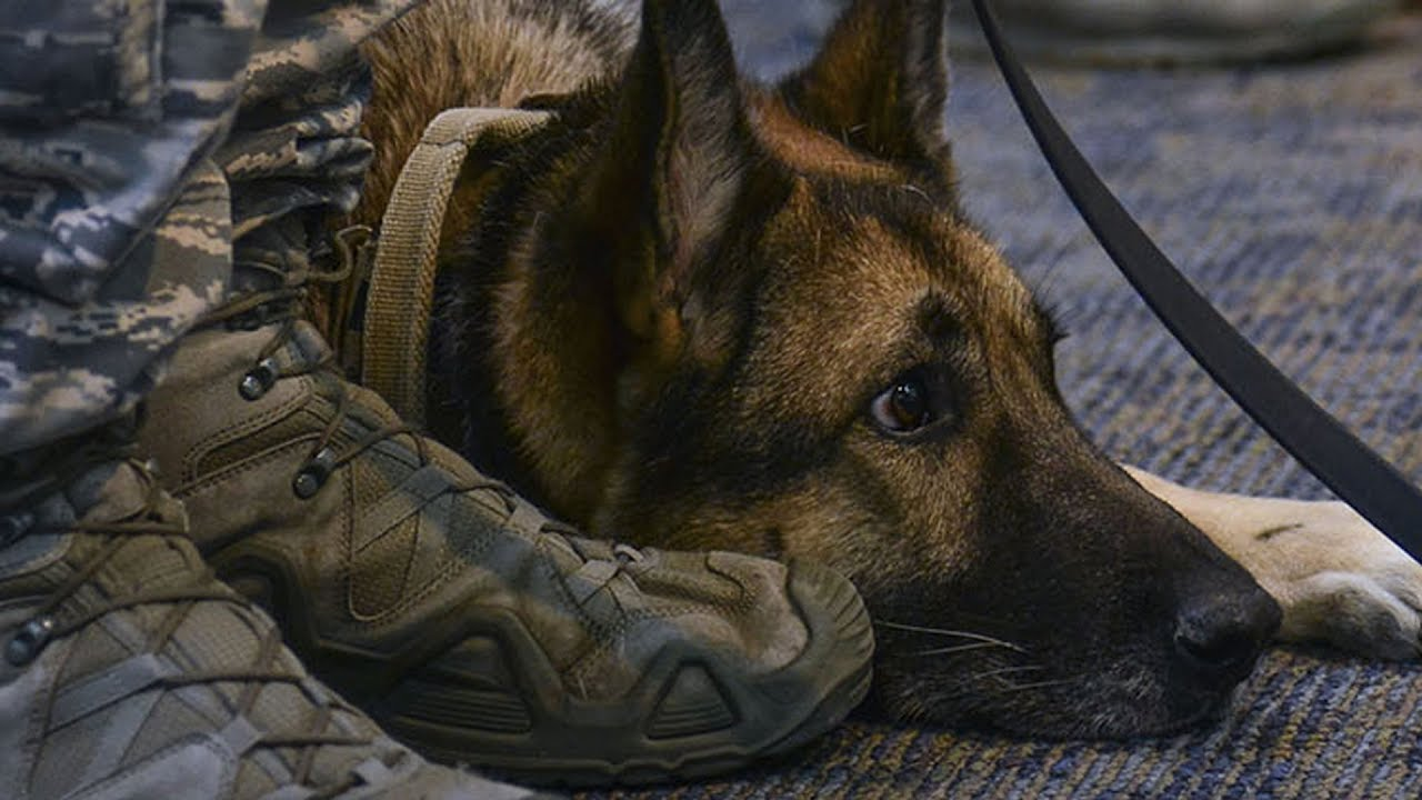 years-after-she-was-separated-from-her-sergeant-this-military-dog-heard-him-calling-her-name
