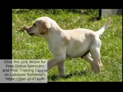 Labrador Retriever Puppies Price In India Youtube