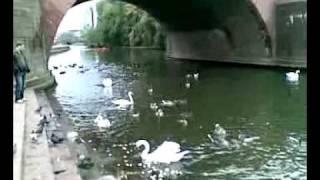 франкфурт, утки лебеди на майне