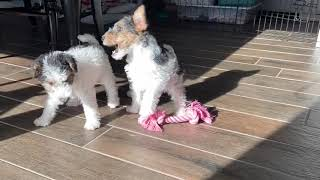 Utah Wire Fox Terrier Pups solving problems and playing