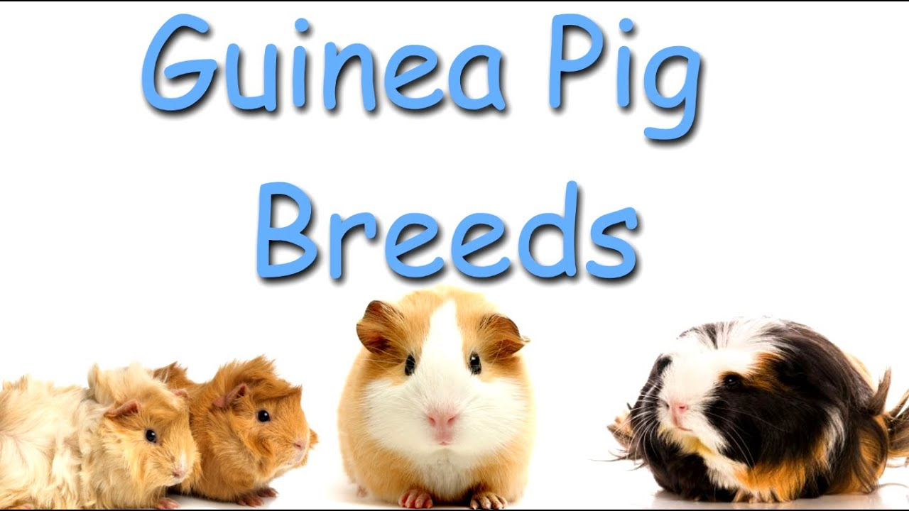 Guinea pig breeds youtube sciox Gallery