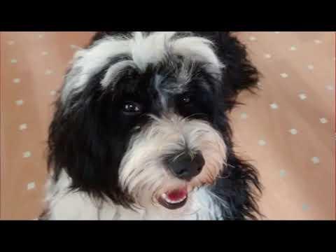 MERLIN the funny Tibetan Terrier