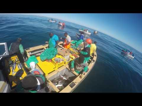 Incredible line fish action in Lambertsbay
