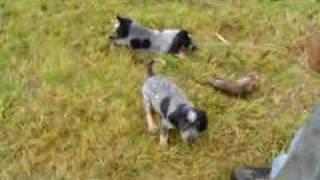 Coon Hound Puppies First Training Day