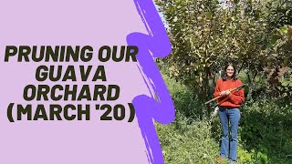 Trees at Aanandaa | Pruning our Guava Orchard