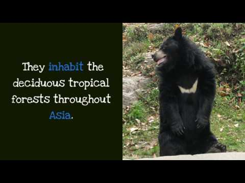 18 Interesting Things You Should Know About Asiatic Black Bear