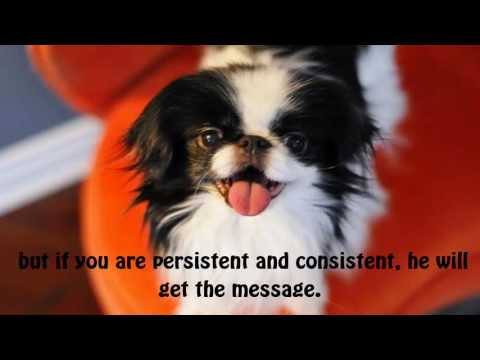 The Japanese Chin is a small dog that is found in two sizes