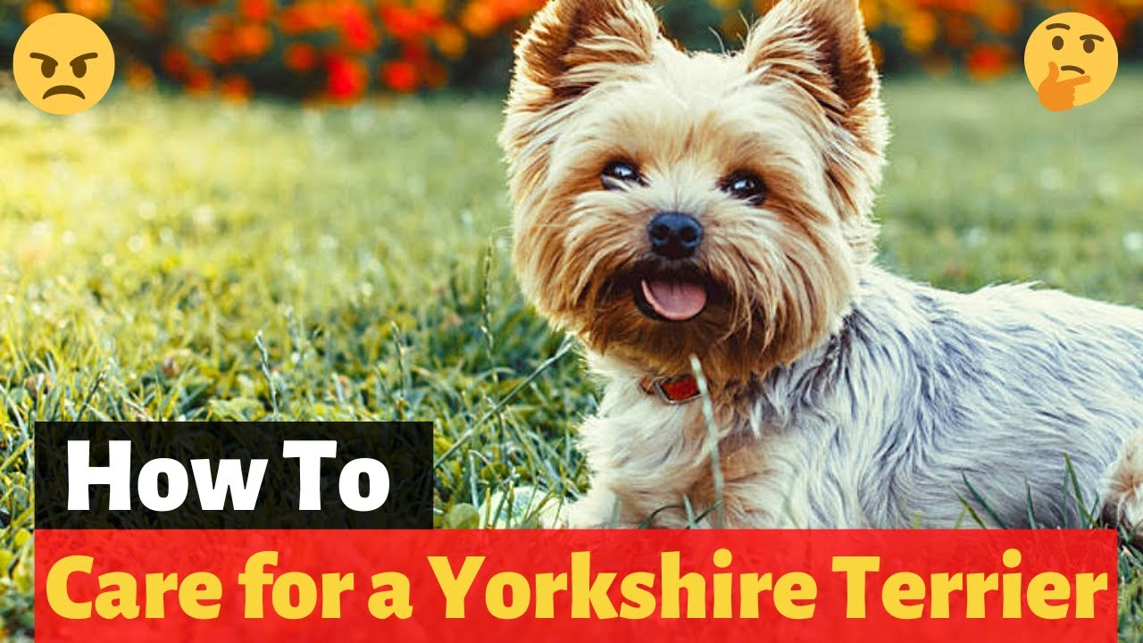 How To Care For Your New Yorkshire Terrier Puppy Youtube