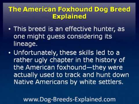 American Foxhound Dog Breed Explained