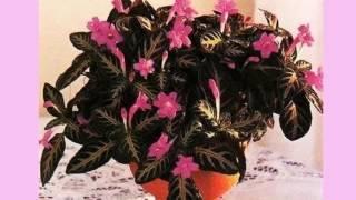 Выращивание руэллии в домашних условиях