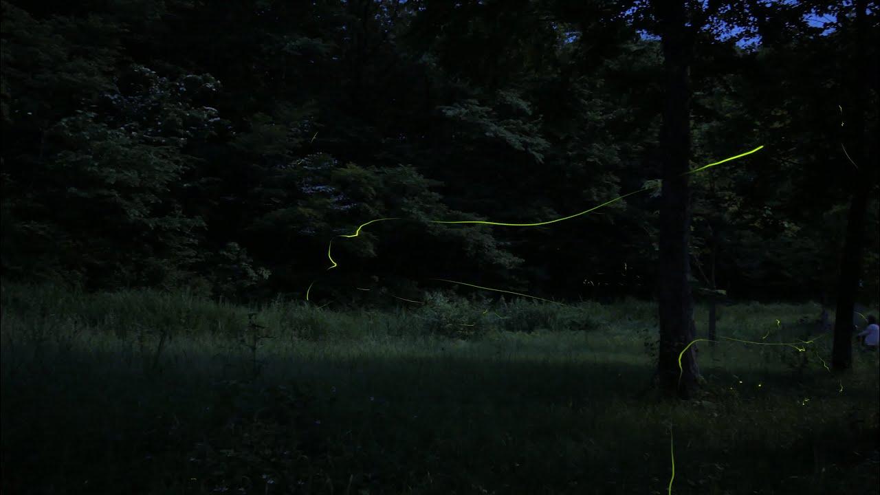 2021【癒し】ゲンジボタルの幻想的な光