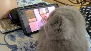 Scottish Fold watches his favorite show: Cat Daddy
