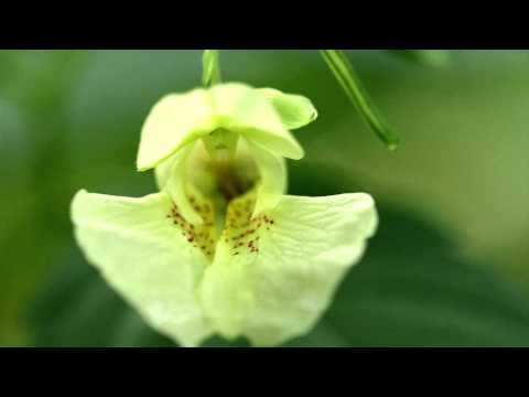 Jewelweed i Impatiens capensis