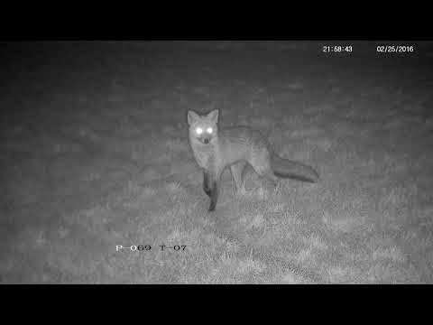 Screaming, Whining And Yelping Foxes - With Sounds