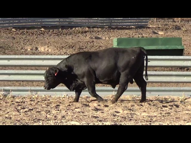 Connealy Angus Lot 216