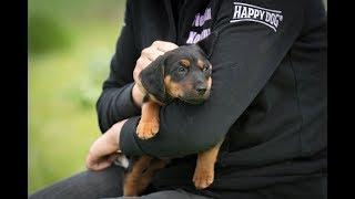 Manchester Terrier Welpen sechs Wochen alt im Tierheim Koblenz April 2019