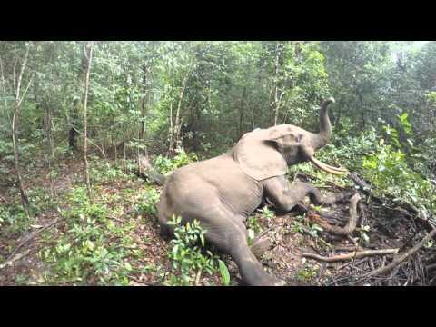 El despertar de un elefante en mitad de la selva tras haberle colocado un localizador