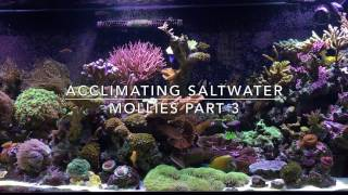 Mollies in the saltwater tank acclimation directions acclimating saltwater mollies part 3 fandeluxe PDF