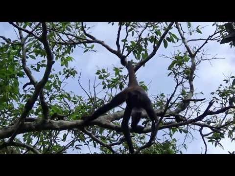 Singe Araignée - Geoffroy's spider monkey - Yaxha Ruins, Guatemala