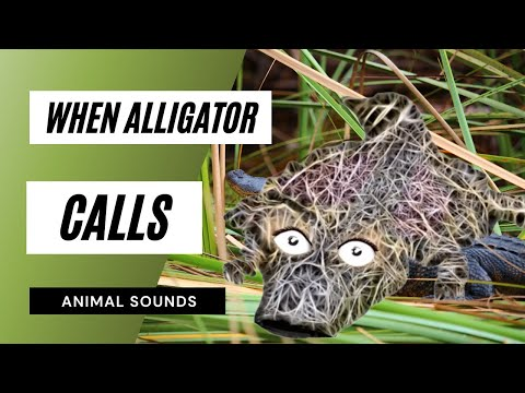 When A Alligator Calls - Sound Effect - Animation