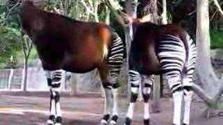Okapis hanging out on a Sunday morning