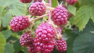 jeżyna  bezkolcowa owoce