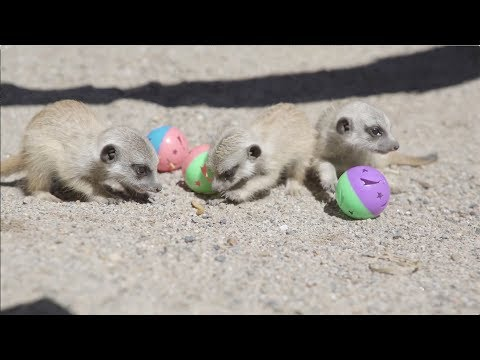 Baby Meerkats playing with balls are the cutest!