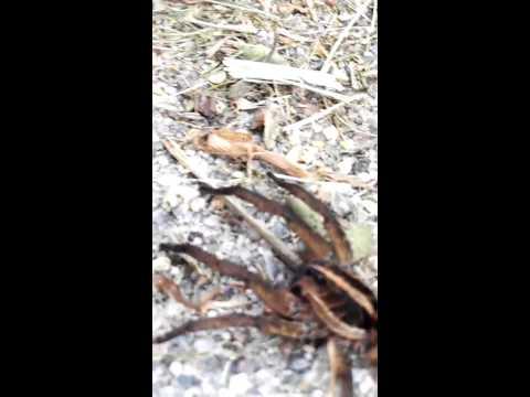 Handling an adult female Tigrosa annexa wolf spider-Part 2
